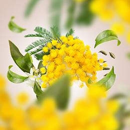 Lumineux Mimosa